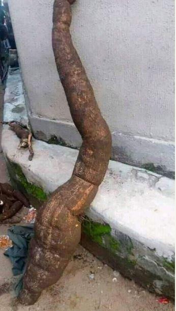 Harvested Cassava taller than the Farmer